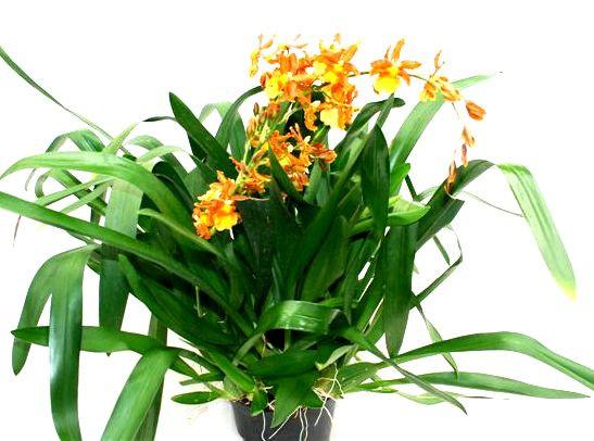 1 blühfähige Orchidee der Sorte: Colmanara Katathante, 16cm Topf