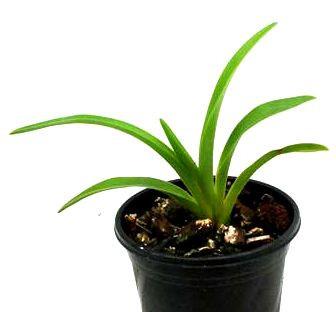 1 blühfähige Orchidee der Sorte: Phragmipedium caudatum, 12cm Topf
