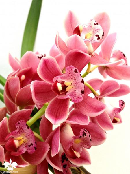 1 blühfähige Orchidee der Sorte: Cymbidium Gem Stone rot , traumhafte Orchidee vom deutschen Züchte