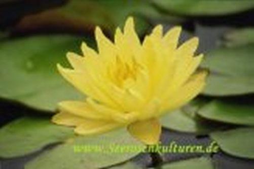 Mühlan - Eine gelb blühende Zwergseerose für den Teich, der Blickfänger in kleinen Gartenteichen, wi