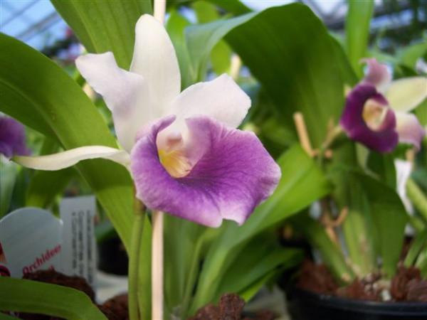 1 blühfähige Orchidee der Sorte: Cochleanthes Hybride, 12cm Topf