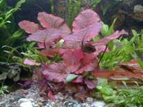 9 Töpfe 5 Sorten Aquarienpflanzen + Lotus + Dünger