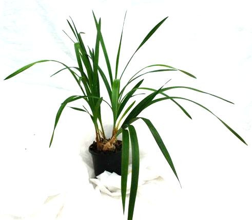 1 blühfähige Orchidee der Sorte: Grobya armhurstii, 12cm Topf