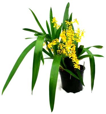 1 blühfähige Orchidee der Sorte: Oncidium Fragrancia, 13cm Topf, starker Duft