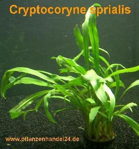 1 Topf Cryptocoryne spiralis, Wasserpflanzen