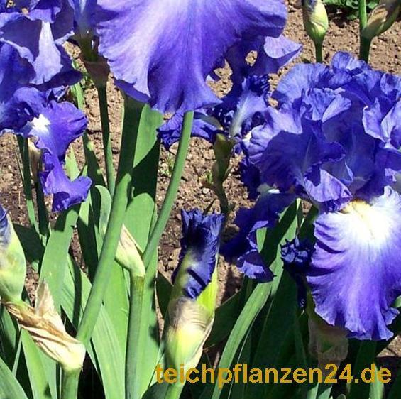 Mühlan - 10 gemischte Iris für die Bepflanzung der Sumpfzone und das Teichufer, Farbe am Gartenteich