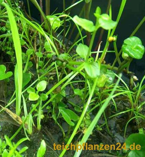 Einsteiger Teichset über 55 Pflanzen für den Teich + 1 Pflanzkorb 30x30x25 cm