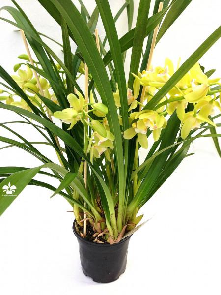 1 blühfähige Orchidee der Sorte: Cymbidium Happy Mail gelbgruen , traumhafte Orchidee vom deutschen