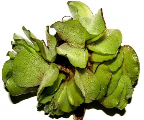 1 Büschelfarn für den Teich, Salvina natans, Schwimmpflanze