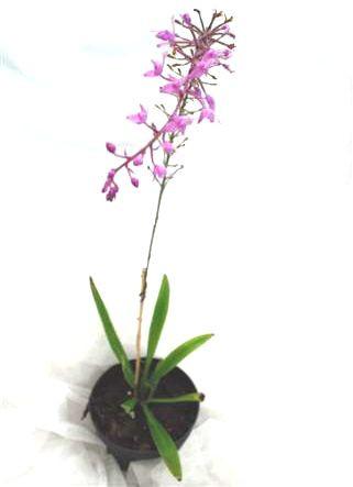 1 blühfähige Orchidee der Sorte: Stenoglottis longofolia, 12cm Topf