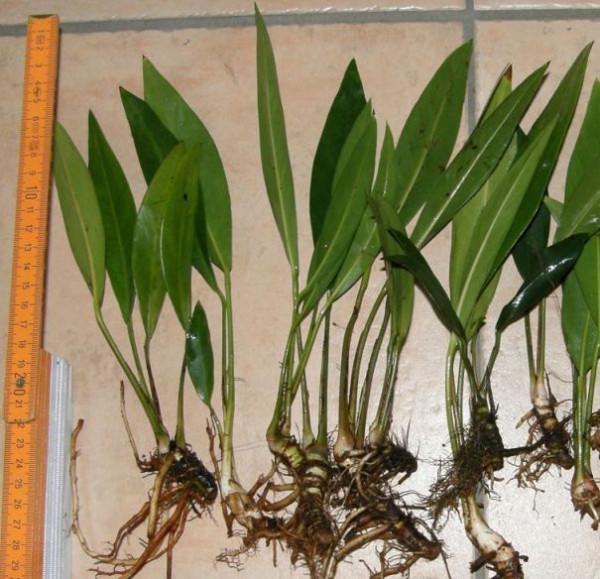 1 Topf Anubia Lanceolata, schwertförmige Blätter