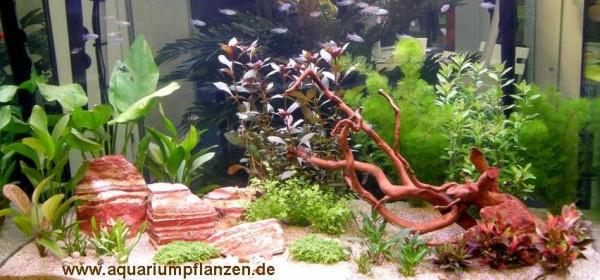 Mühlan - Wasserpflanzensortiment für Liebhaber von Salmlern, asiatisch, schnellwachsend inkl. Dünge