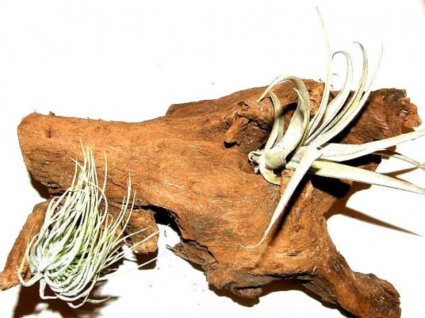 1 Wurzel bepflanzt mit 2 verschiedenen Tillandsien, Deko für Terarrien