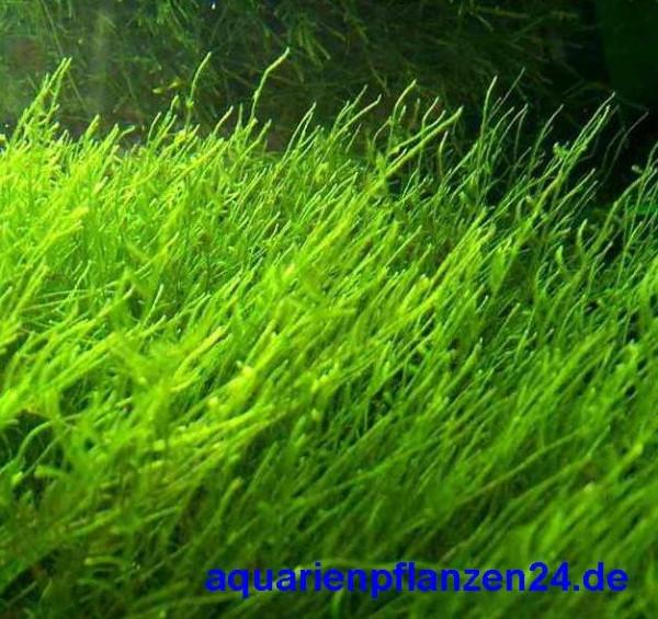 1 Handgrosse Portion Javamoos f. Aquarium