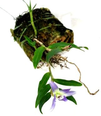 1 blühfähige Orchidee der Sorte: Dendrobium victoria reginae, aufgebunden