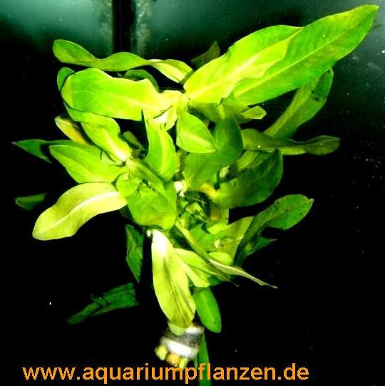 1 Bund Ammania gracilis, Große Kognakpflanze