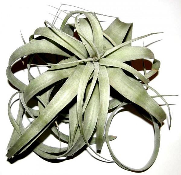 1 Tillandsia xerographica, Tillandsien für Terrarien, Aufsitzerpflanzen