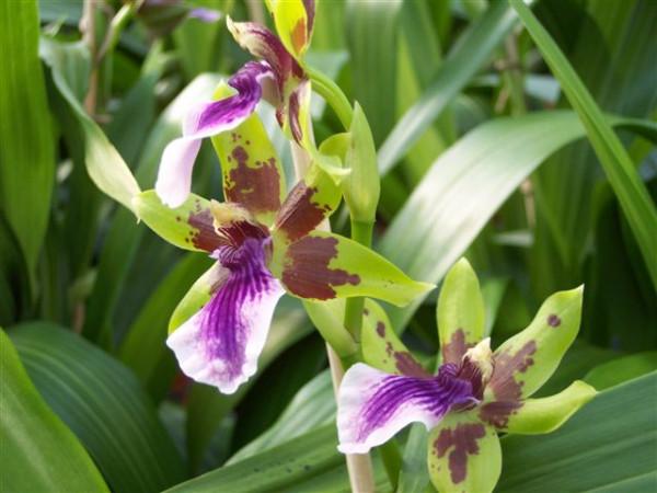 1 blühfähige Orchidee der Sorte: Zygopethalum x Acacallis Hybride , traumhafte Orchidee vom deutsch