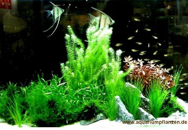 Mühlan - Wasserpflanzen Mittelgrundmix, 4 Bund Aquarienpflanzen + 4 Wasserpflanzentöpfe inkl. Wasser