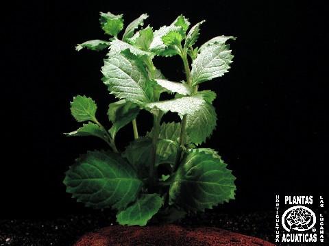 Mühlan - 1 Bund Indischer Wasserstern (Hygrophila Difformis), ideal für Diskusbecken