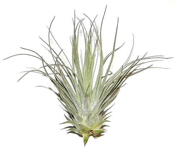 1 Tillandsia tectorum, Tillandsien für Terrarien, Aufsitzerpflanzen