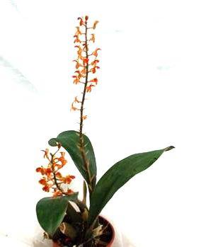 1 blühfähige Orchidee der Sorte: Liparis latofolia, 12cm Topf