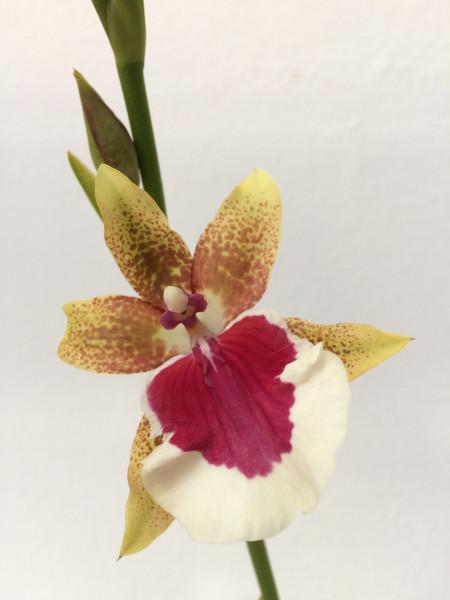 1 blühfähige Orchidee der Sorte: Miltonia Peter Komp, traumhafte Orchidee vom deutschen Züchter