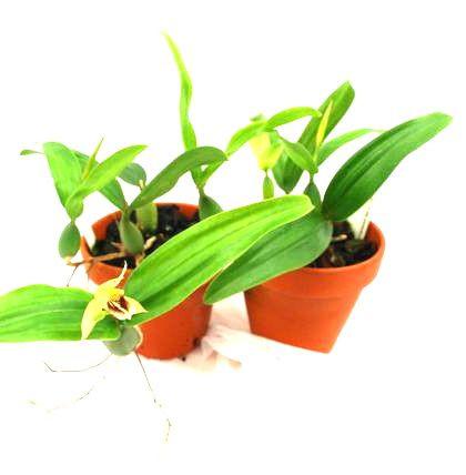 1 blühfähige Orchidee der Sorte: Coelogyne fimbriata, 9cmTopf