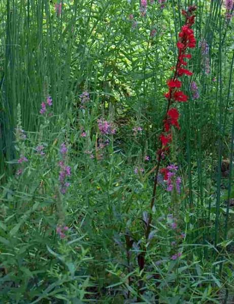 10 Filterpflanzen für das Teichufer mindestens 5 Sorten + Pflanzkorb 30x30x25 cm