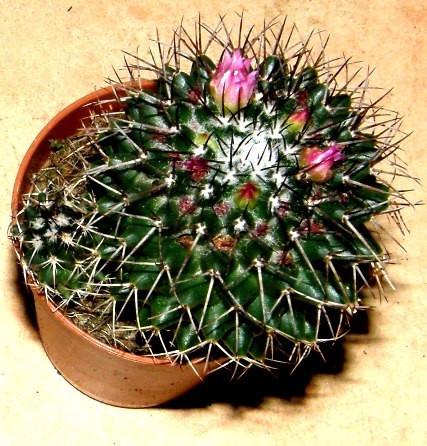 1 getopfter Kaktus für Terrarien und Fensterbänke, Topfpflanze, Kaktee