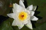 1 SEEROSE der Sorte Odorata Alba, weisse Blüte