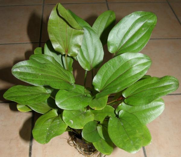 Sparangebot 3 Echinodorus Mutterpflanzen XXL