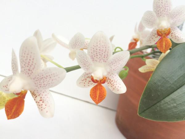 1 blühfähige Orchidee der Sorte: Phalaenopsis Mini Mark , traumhafte Orchidee vom deutschen Züchte