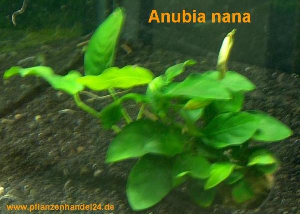 1 Anubia Nana im Topf, barschfest, Aquarium