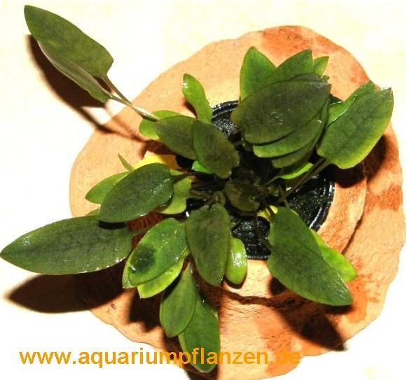 Pflanzenring mit Topf Cryptocoryne, Wasserpflanze