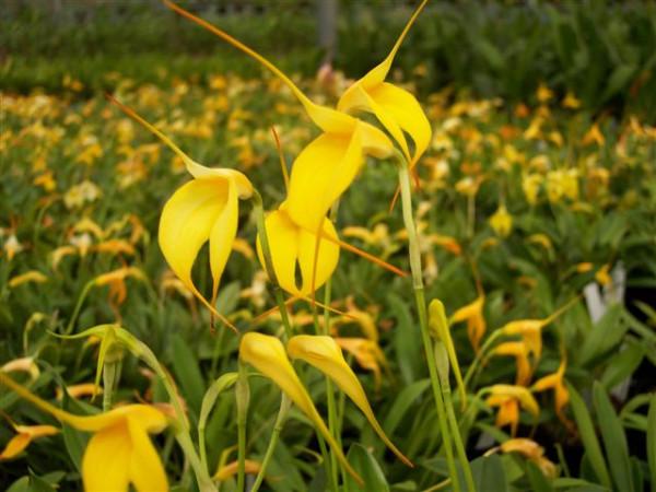 1 blühfähige Orchidee der Sorte: Masdevallia Aquarius, 9cm Topf