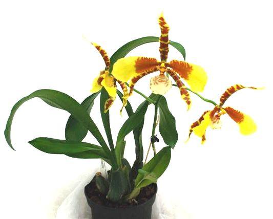 1 blühfähige Orchidee der Sorte: Rossioglossum Rawdon Jester, 13cm Topf