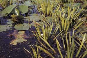 70 Teichpflanzen + Wasseraufbereiter für den Teich