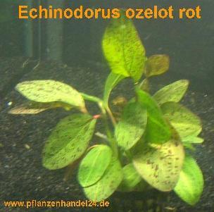 1 Topf Echinodorus Ozelot rot, Wasserpflanzen