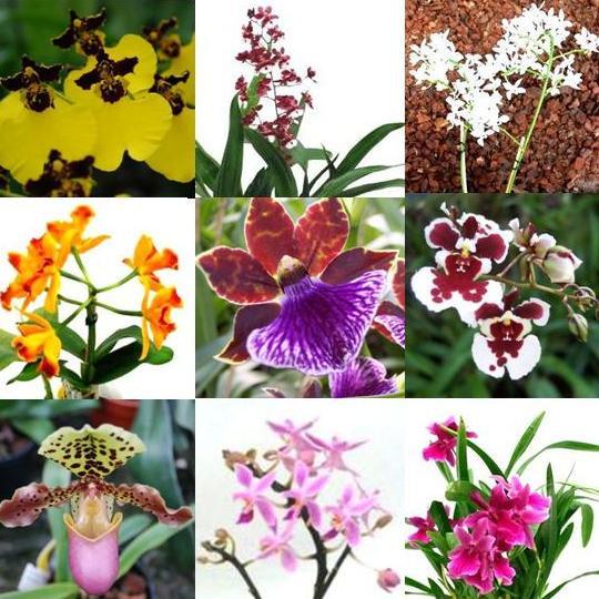 3 blühende Orchideen im Topf, Überraschungspflanzen, 2 Rispen pro Pflanze