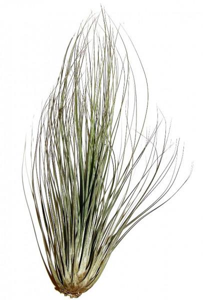 1 Tillandsia filifolia, Tillandsien für Terrarien, Aufsitzerpflanzen