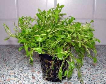 1 Topf Glossotigma, Vordergrundpflanze