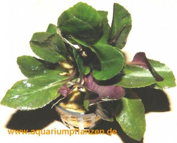1 Topf Lobelia cardinalis, scharlachrote Lobelie