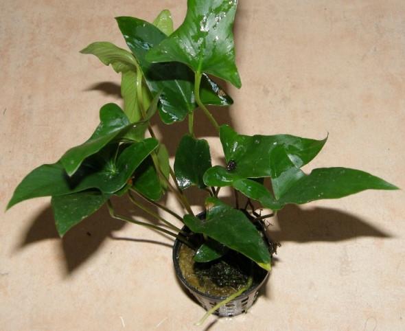 1 Topf Anubia gracilis, zierliches Speerblatt