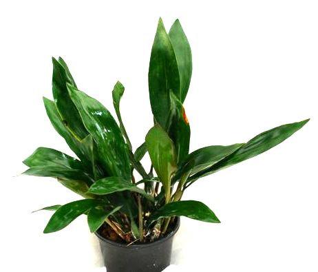 1 blühfähige Orchidee der Sorte: Dendrochillum cobbianum, 13cm Topf
