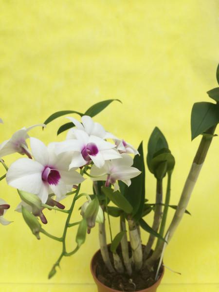 1 blühfähige Orchidee der Sorte: Dendrobium phalaenopsis weiß, traumhafte Orchidee vom deutschen Zü