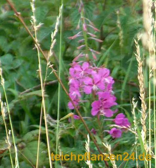 Mühlan - Pflanzenset für Schwimmteiche Seerosen, Wasserpflanzen, Sumpfpflanzen, Filterpflanzen