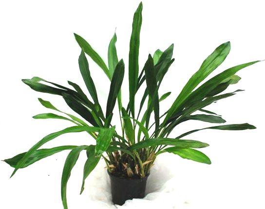 1 blühfähige Orchidee der Sorte: Dendrochillum glumaceum, 13cm Topf