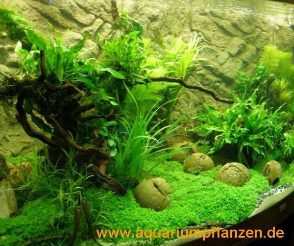 Mühlan - 4 getopfte Wasserpflanzen, 6 Bund Aquarienpflanzen + 2 Mooskugeln + Dünger - Südamerika Aqu