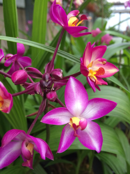 1 blühfähige Orchidee der Sorte: Spathoglottis Hybride , traumhafte Orchidee vom deutschen Züchter